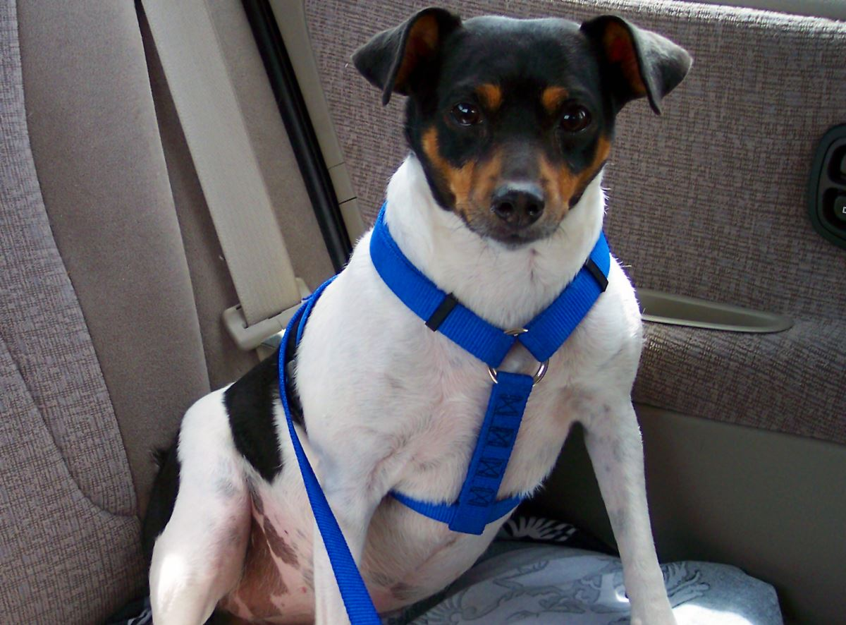 dog in vehicle harness